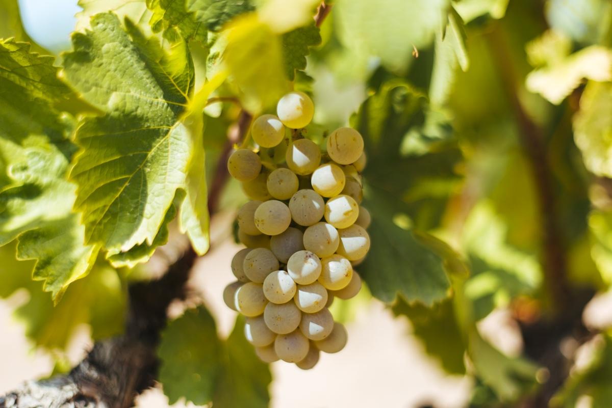 Las uvas blancas de Rueda, España